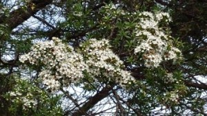 Kanuka trees in flower