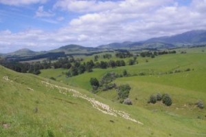 Mustering sheep at Wakarara