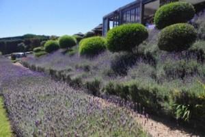 Mudbrick Lavender