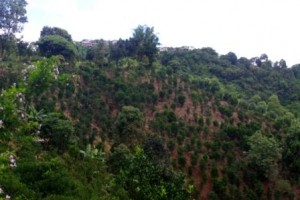 A hillside of Orange trees