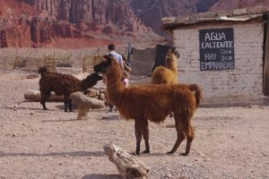 Road to Cafayate Llamas